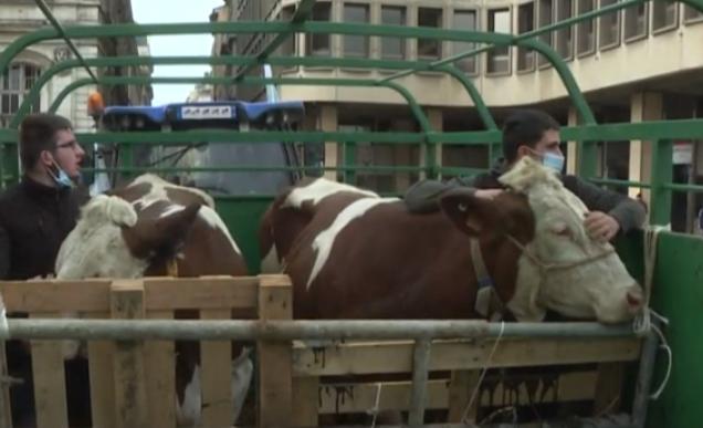 مظاهرة بالابقار