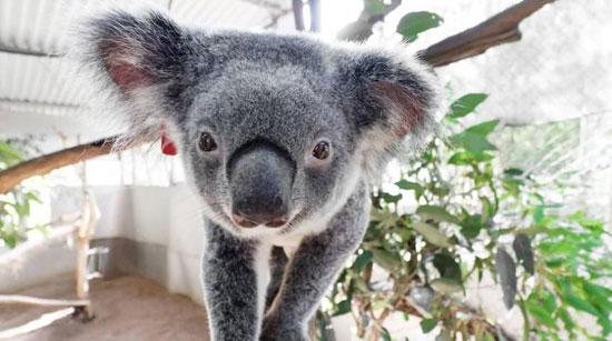 حيوان الكوالا (1)