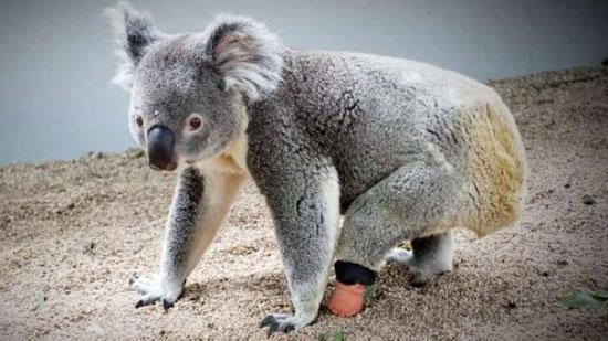 حيوان الكوالا (5)