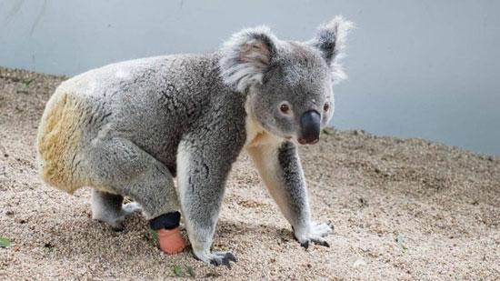 حيوان الكوالا (6)