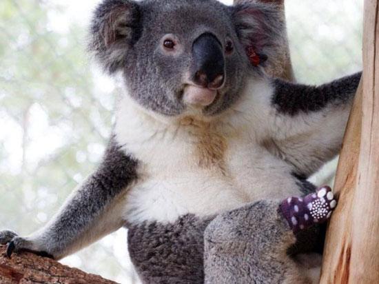 حيوان الكوالا (2)