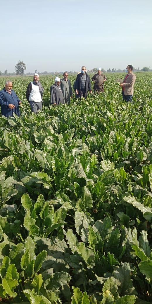 حصاد العروة الأولى من محصول البنجر (1)