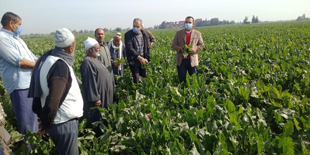 حصاد العروة الأولى من محصول البنجر (2)