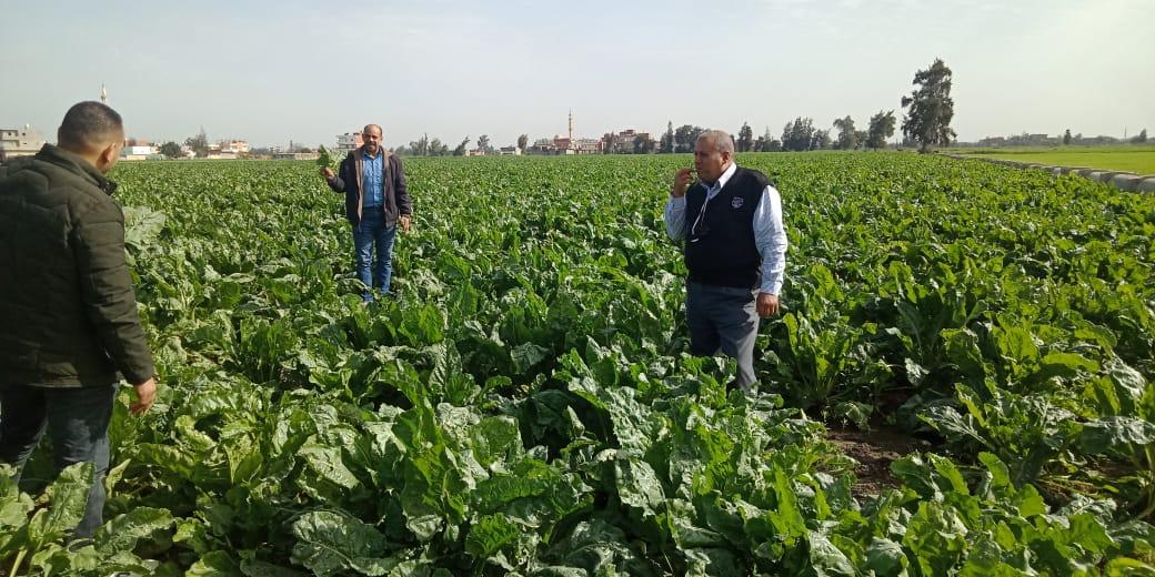 حصاد العروة الأولى من محصول البنجر (4)