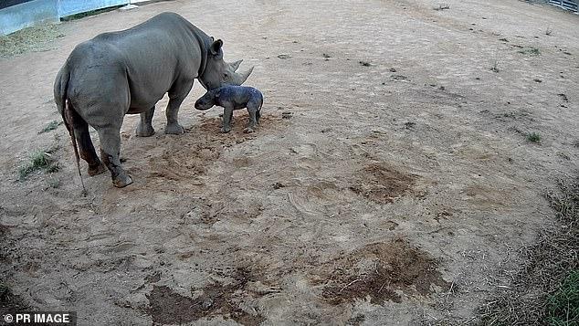 وحيد القرن الأسود النادر