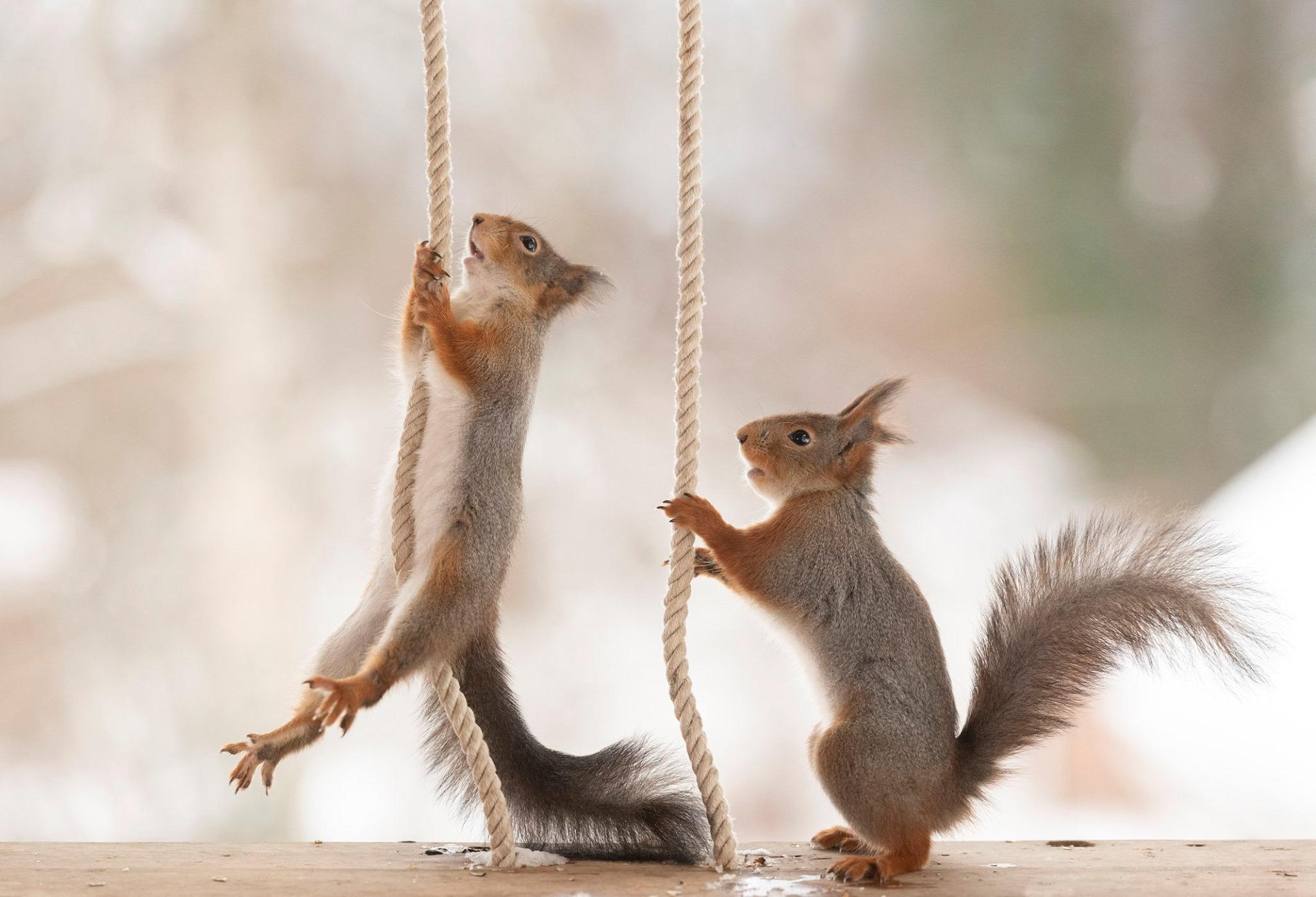 سناجب تتسلق الحبال