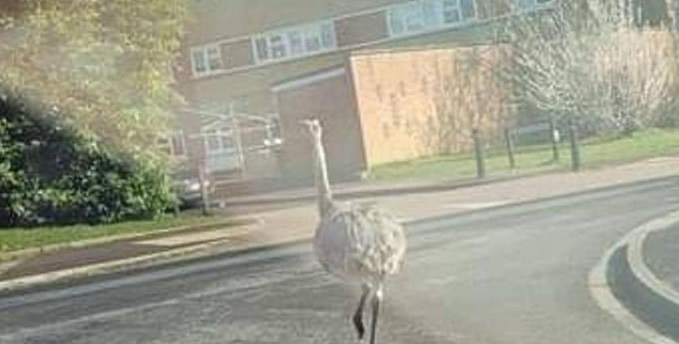 الطيور العملاقة فى شوارع مقاطعة بريطانية