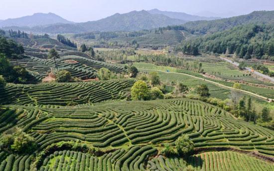 زراعة الشاي فى الصين (10)