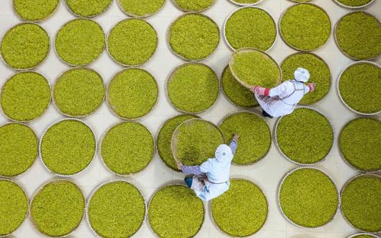 زراعة الشاي فى الصين (8)