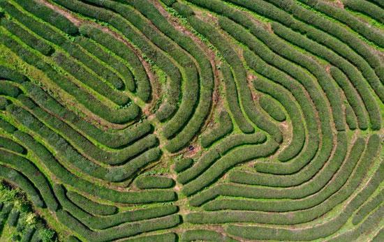 زراعة الشاي فى الصين (3)