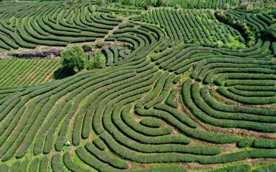 زراعة الشاي فى الصين (9)