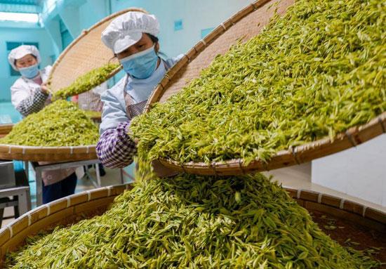 زراعة الشاي فى الصين (6)