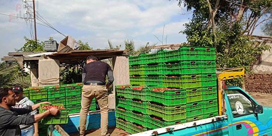 132160-تحميل-الفراولة-بعد-حصادها-لبيعها