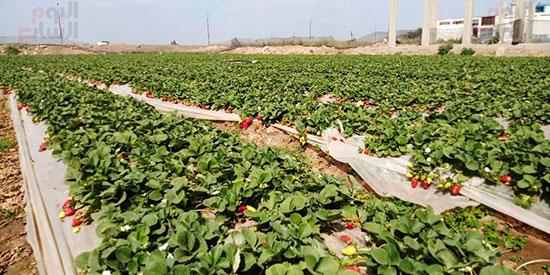 119205-قبل-حصاد-الفراولة