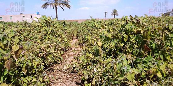 133809-الحرنكش-قبل-حصاده