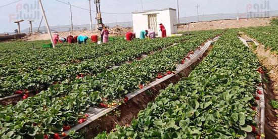 148630-عمالة-الفراولة-خلال-الحصاد