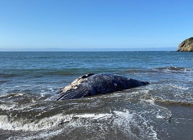 4 حيتان نافقة على سواحل خليج سان فرانسيسكو  (1)