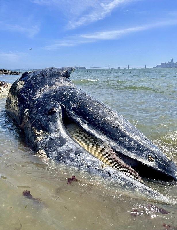 4 حيتان نافقة على سواحل خليج سان فرانسيسكو  (3)