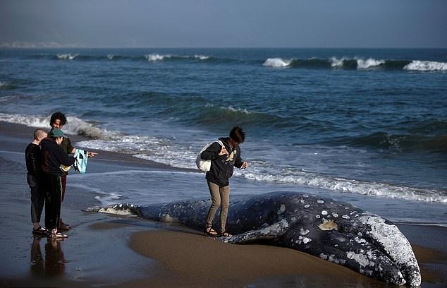 4 حيتان نافقة على سواحل خليج سان فرانسيسكو  (4)