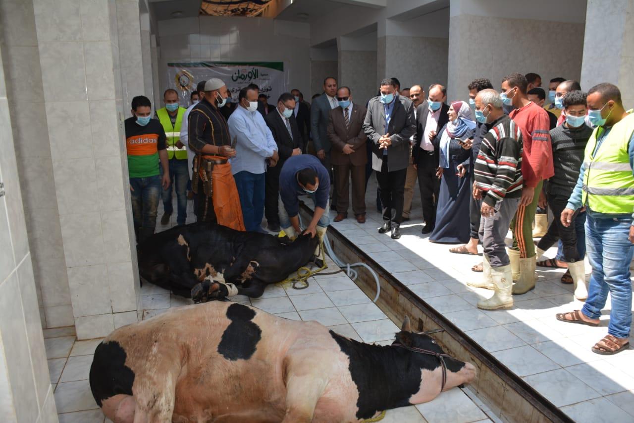 ذبح رؤس الماشية وتوزيعها على الاسر الاولى بالرعاية
