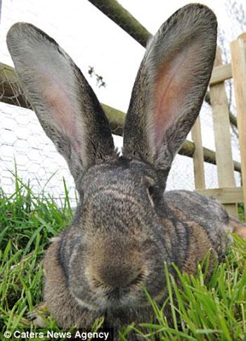 داريوس اطول أرنب فى العالم (3)