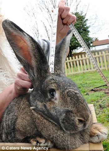 داريوس اطول أرنب فى العالم (4)