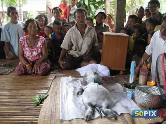 راس انسان جسد بقرة تايلاند