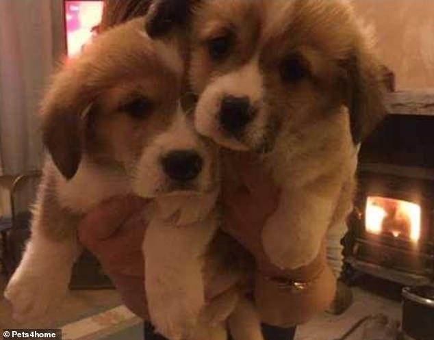 الكلبين فيرغيسون وموريك