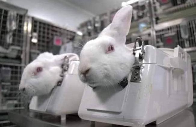 الأرانب بالمعامل