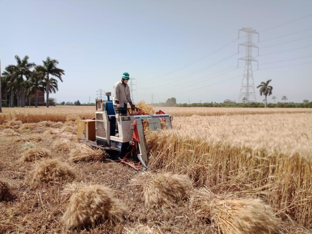 استمرار اعمال الحصادبالقليوبية