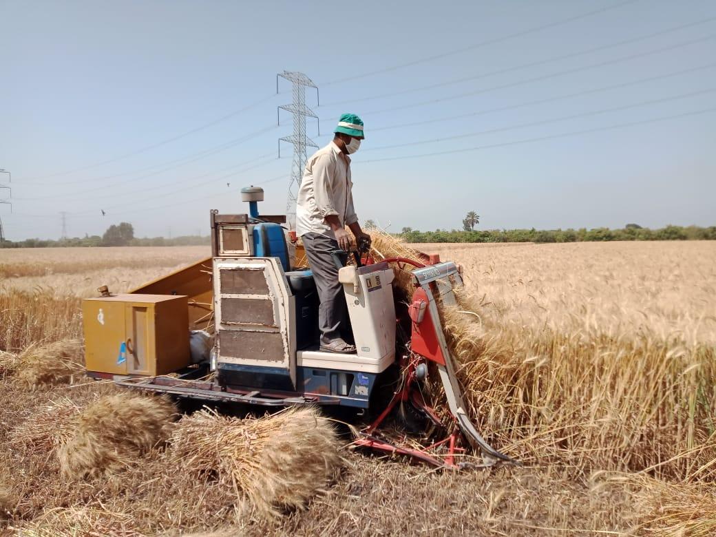 أعال الحصاد بالقليوبية