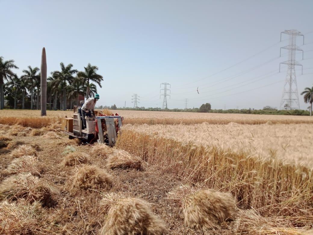 حصاد القمح بالقليوبية
