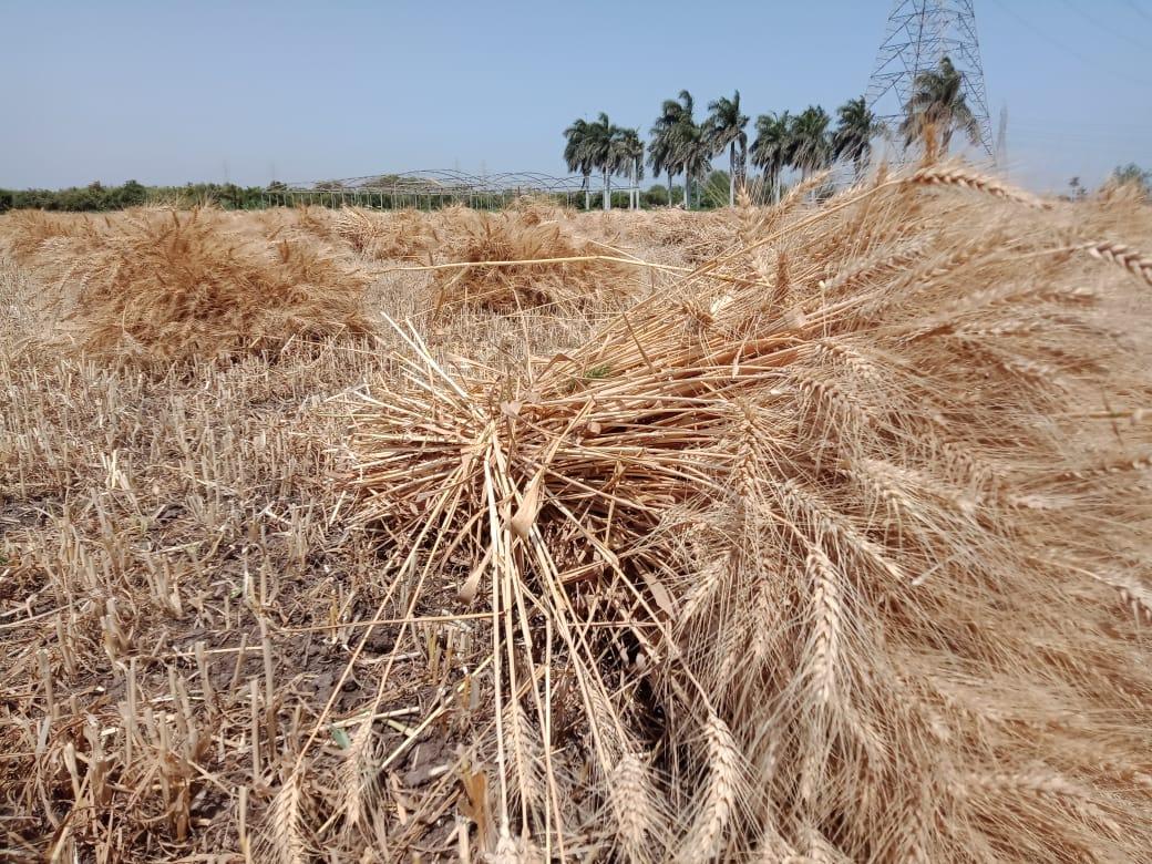 القمح فى مزارع