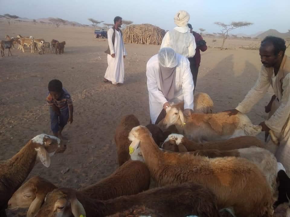 تحصين الماشية ضد جدرى الاغنام