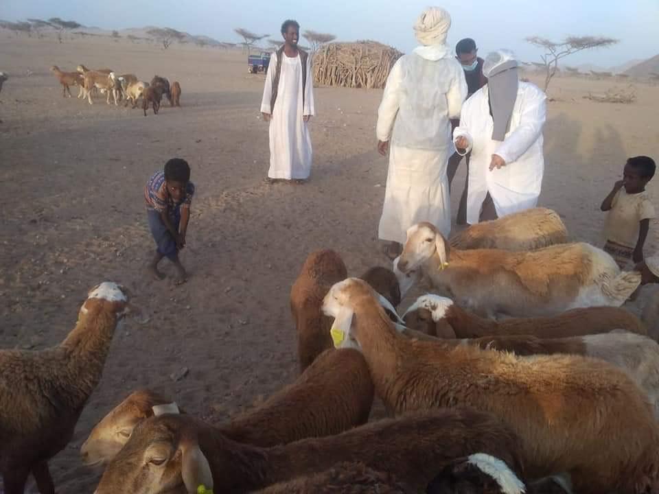 تحصين الماشية بالبحر الاحمر