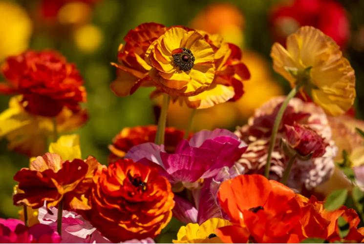 زهور حديقة كاليفورنيا
