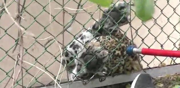 نمر برى يهاجم بحديقة حيوانات  (3)