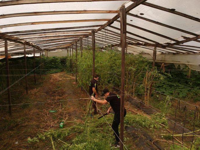 مكان زراعة رباعي هيدروكانابينول