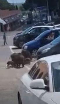 الخنازير تبحث عن الطعام