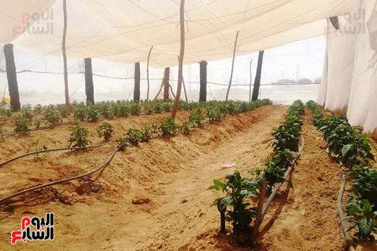البيوت-الزراعية-المحمية-بالوادى-الجديد-فرص-عمل-مثالية-للشباب-(10)
