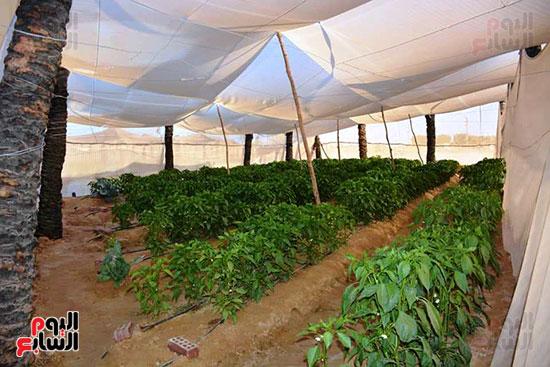 البيوت-الزراعية-المحمية-بالوادى-الجديد-فرص-عمل-مثالية-للشباب-(13)