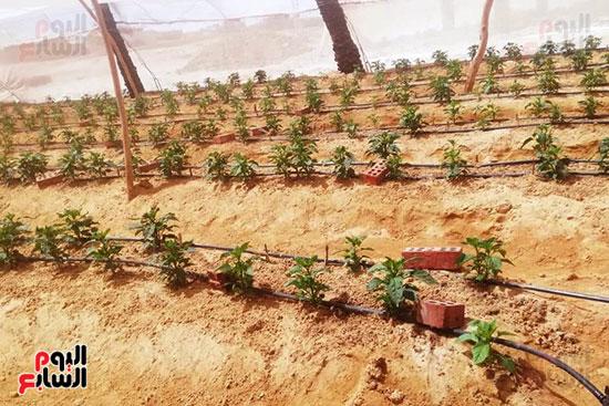 البيوت-الزراعية-المحمية-بالوادى-الجديد-فرص-عمل-مثالية-للشباب-(16)