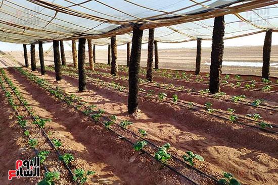 البيوت-الزراعية-المحمية-بالوادى-الجديد-فرص-عمل-مثالية-للشباب-(4)