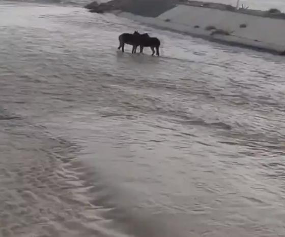 حصان عالق فى البحيرة
