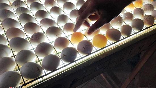 رفع-البيضة-غير-مخصبة