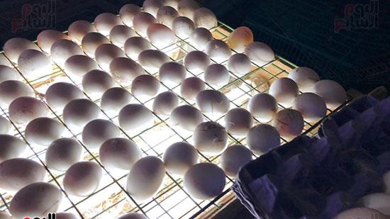 مرحلة-الكشف-على-البط-داخل-البيض