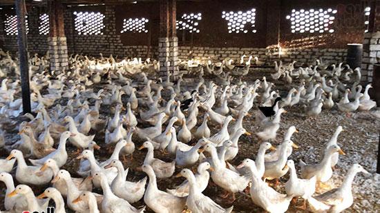 مزرعة-البط-الفرنساوى