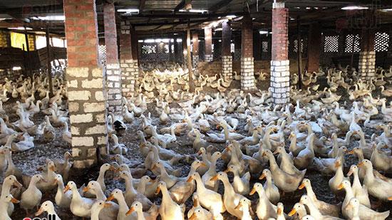 مزراعة-البط-الفرنساوى