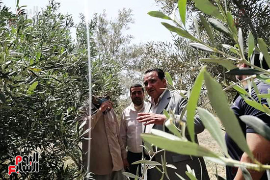 نجاح-زراعات-الزيتون-بالرى-بالتنقيط-فى-محافظة-دمياط-(1)
