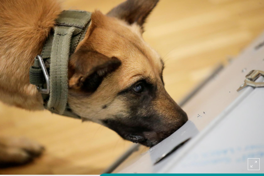 تدريب الكلاب على شم رائحة كورونا من الجوارب